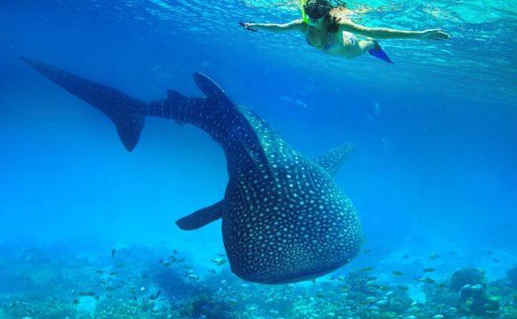 Whale Sharks Trips 1